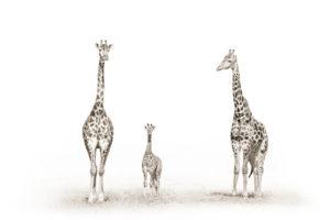 Giraffes Hi-Res 2000px