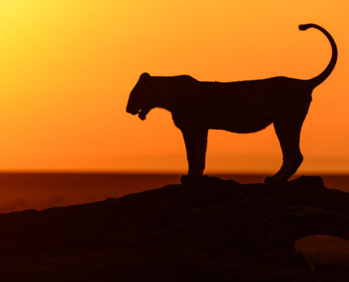 The sun was just rising on the Maasai Mara as I watched this lioness hop up on the fallen tree and look off to the sunrise. In the distance a herd of zebra grazed. It was as if she was choosing between enjoying the first raise of sunrise or pursuing breakfast.