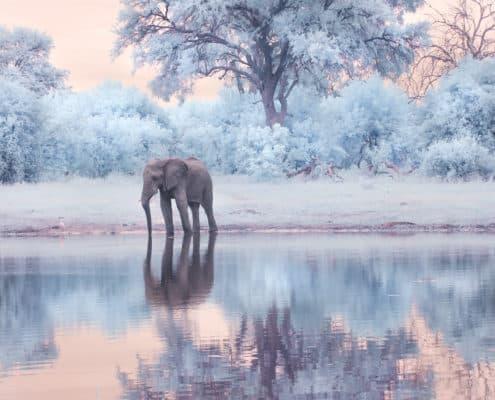 Infrared Elephant Botswana