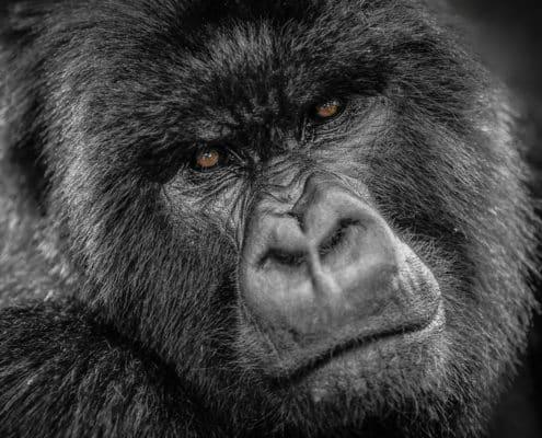 Rwanda Gorilla (PALY014)