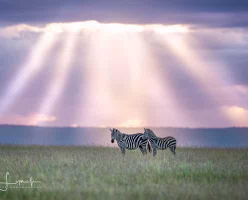 Zebra Heaven_