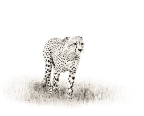 Cheetah Artistic-2 (RYAB004)