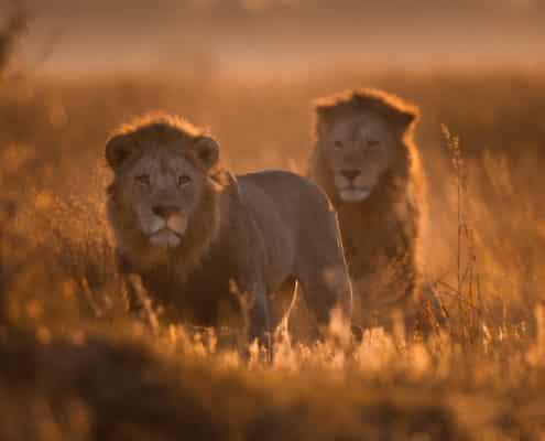 (LIOT008)Savuti-Botswana