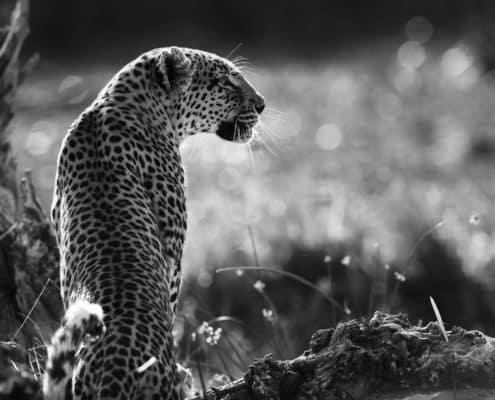 (LIOT010)The Mother-Khwai-Botswana