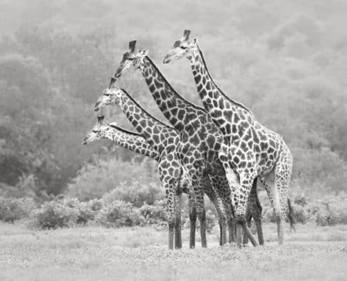 (LIOT011)Timbavati-South Africa