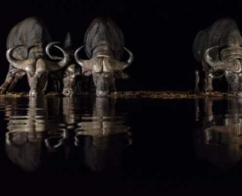(LIOT013)Zimanga-South Africa