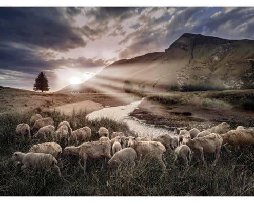 The setting sun lights up a flock of sheep grazing along the Bell River near the Village of Rhodes in the southern Drakensberg of South Africa.