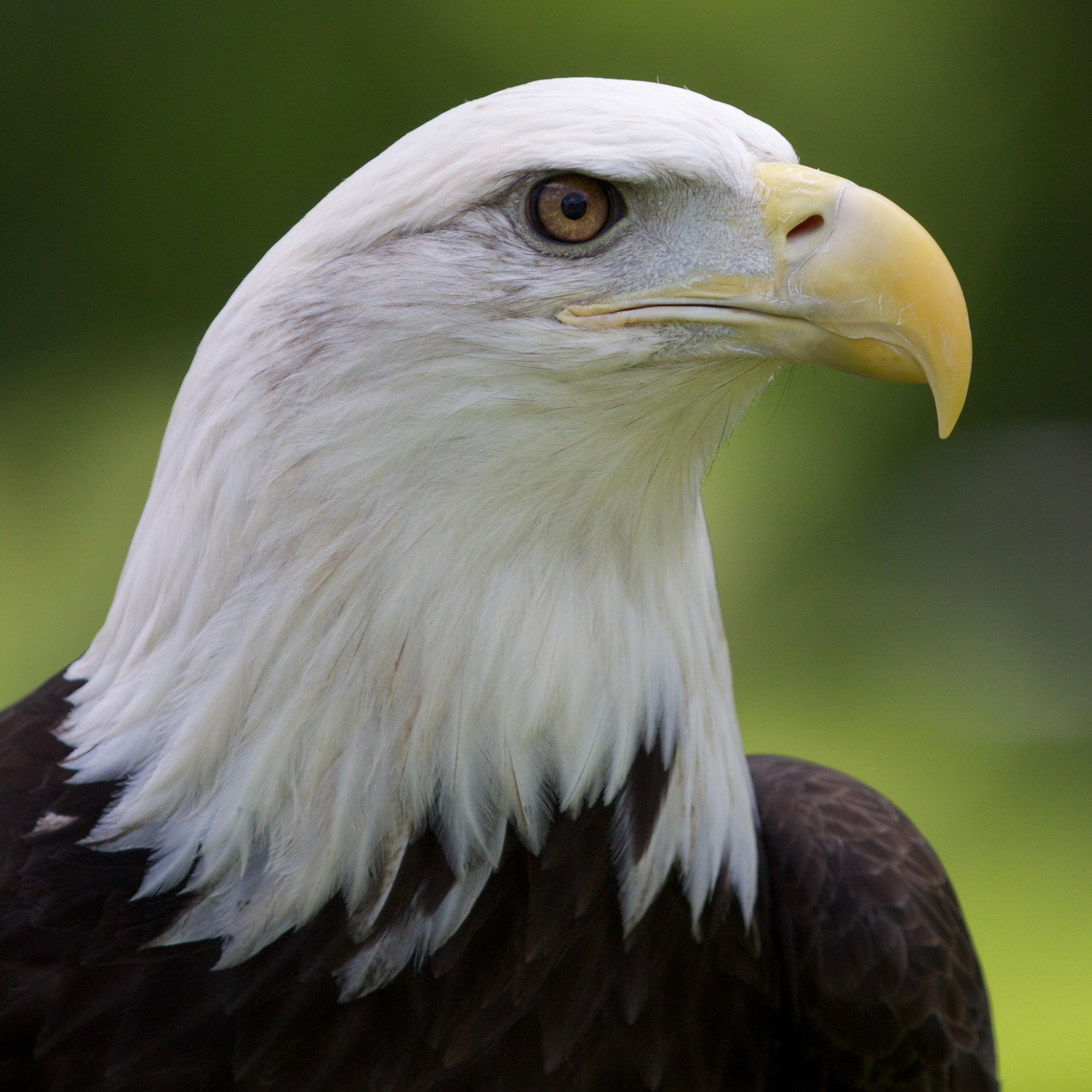 Bald-Eagle-Portrait.jpg