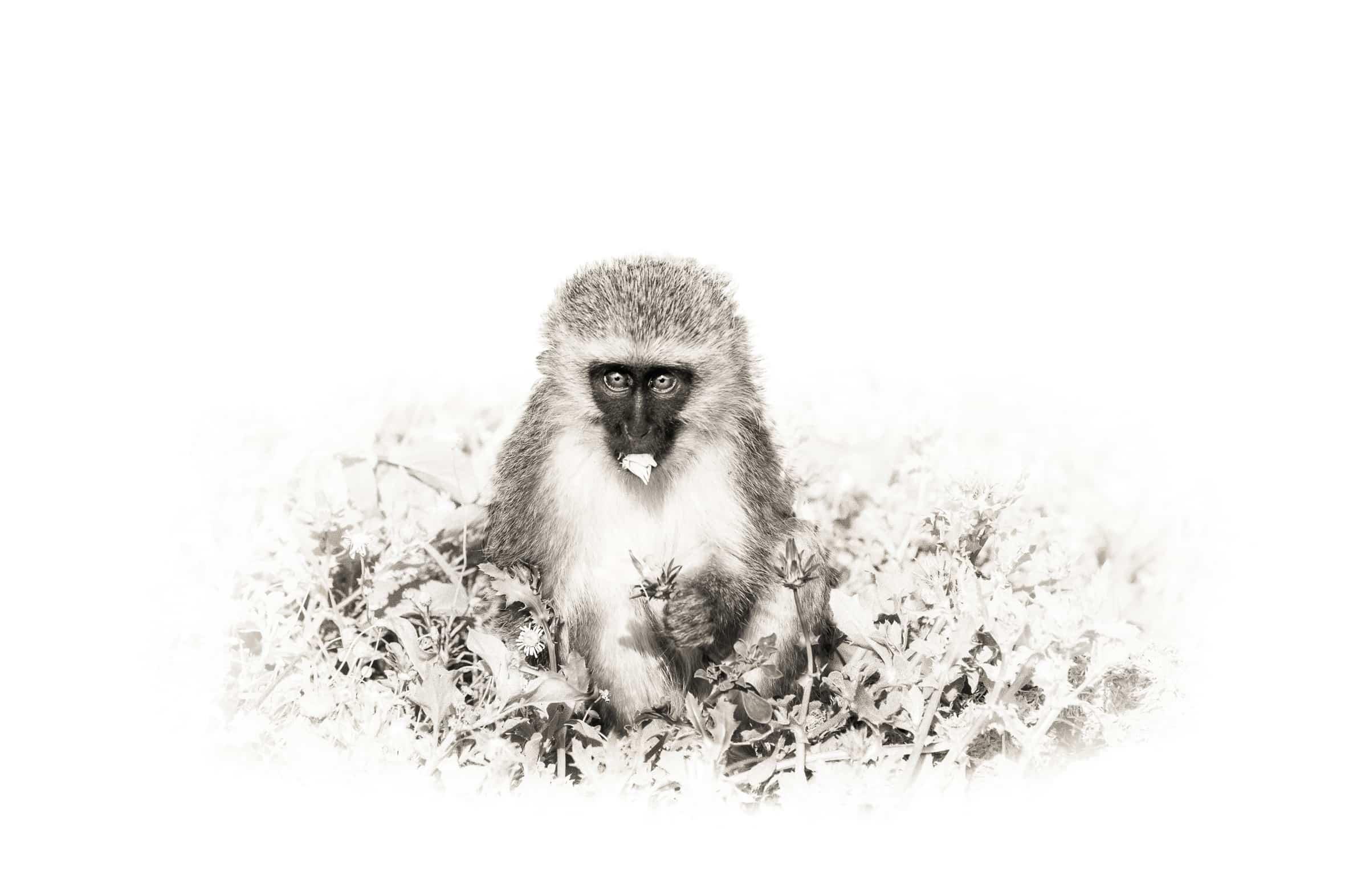 monkey-chow-RYAB001-.jpg